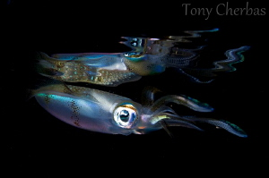 Fly by Night: Reef Squid + Reflection by Tony Cherbas 